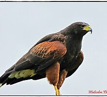 Golden Eagle by Malcolm Chant