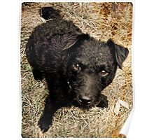 Fergus, Wire-Haired Patterdale Terrier Poster