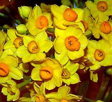 Golden Daffodils by Segalili