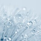 Dandelion with water drops by seeker19