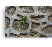 Life on Bare Rock - Trailing Down the Old Masonry Wall Canvas Print