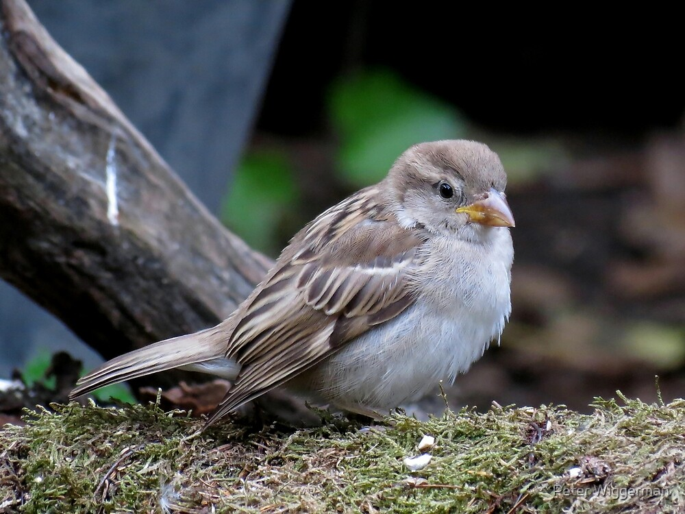 grumpy house sparrow by Peter Wiggerman