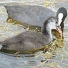 A young  coot and its mother. by Lilian Marshall