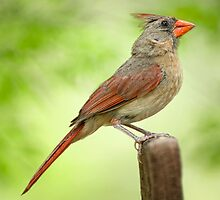 Mrs. Cardinal on her Lookout Post by Bonnie T.  Barry