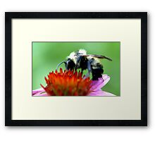 Bumble Bee on Cone Framed Print