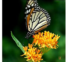 They Call it Butterfly Bush for a Reason Photographic Print