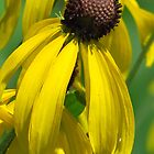 The Prairie Coneflower by lorilee