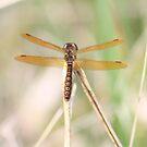 Golden Dragonfly by Karen Brewer