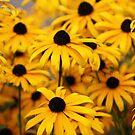 A sea of Yellow by Karen Brewer