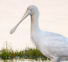 Yellow-billed spoonbill by Jennie  Stock