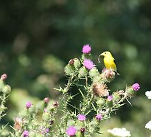 American Gold Finch by Karen Brewer