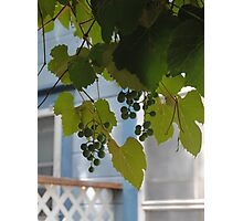 Grapevines in Bishop Photographic Print