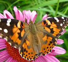 Close up of a Painted Lady by MarianBendeth