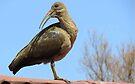 Hadeda Ibis by Elizabeth Kendall
