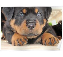 Cute Rottweiler Puppy With Blue Eyes Poster
