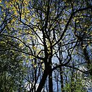 sunlight through spring trees by anfa77