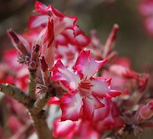 South african flower - Impala Lily by gogston