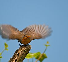 Robin  by FranWalding