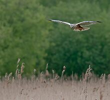 Marsh Harrier--male by FranWalding