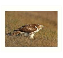 Red-tailed Hawk - juvenile Art Print