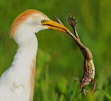 Cattle Egret with Frog by photosbyjoe