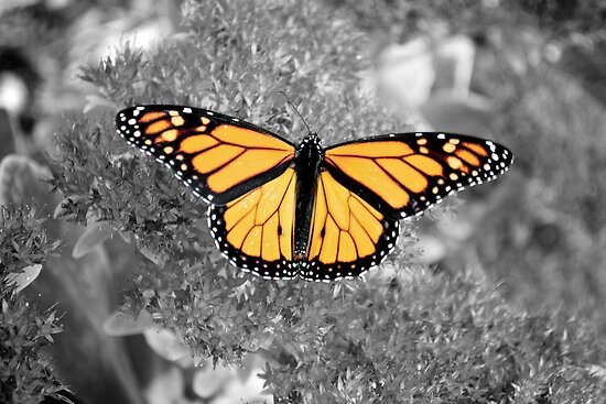 Orange Monarch by lindsycarranza