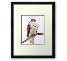 Red-tailed Hawk - Perched Framed Print