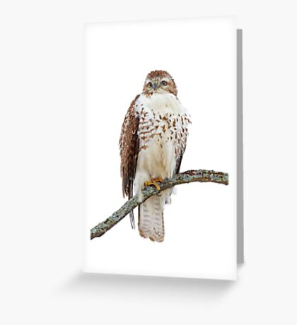 Red-tailed Hawk - Perched Greeting Card