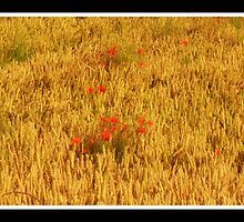 poppies of the shires 6 by kimbob1