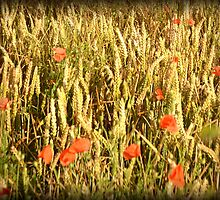 poppies of the shires 7 by kimbob1