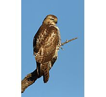 Red-tailed Hawk - juvenile Photographic Print