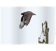 Rough-legged Hawk Poster