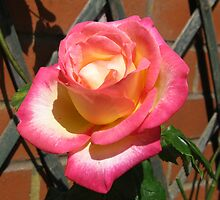 Radiant Rose Beauty by kathrynsgallery