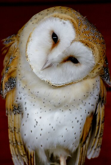Barn Owl by Moonlake