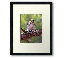 Mealtime - Coopers hawk Framed Print