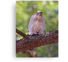 Mealtime - Coopers hawk Canvas Print