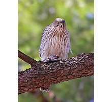 Mealtime - Coopers hawk Photographic Print