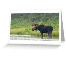 Bull Moose - Algonquin Park, Canada Greeting Card