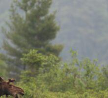 Grassy marsh moose - Algonquin Park, Canada Sticker