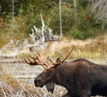 Bull moose - Algonquin Park Sticker