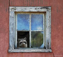 old house adobe window- raccoon by R Christopher  Vest