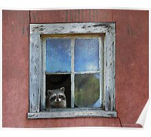 old house adobe window- raccoon Poster