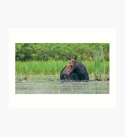 Algonquin Moose Art Print