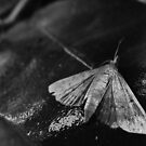 Moth by mindy23