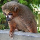 Baby Red-Bellie Lemur by Laura Redmond
