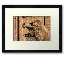 Camel In Suburbia Framed Print