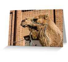 Camel In Suburbia Greeting Card