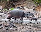 New born hippo by Linda Sparks