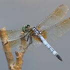 Little Green Dragonfly by Alex Call