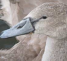 A young Cygnet  by Lilian Marshall